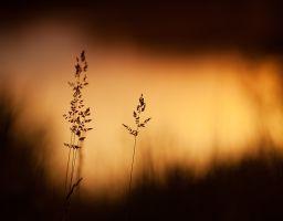 Zittergras Sonnenaufgang