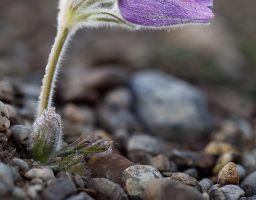 Küchenschelle Pflanze Blume