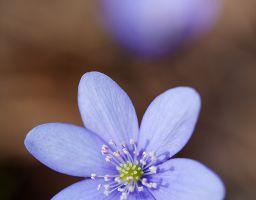 Leberblümchen Blume Blüte