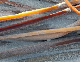 Seetang Kelp Algen