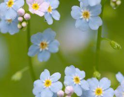 Vergissmeinnicht Blume Blüte