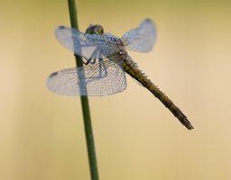 Libelle Insekt Tier