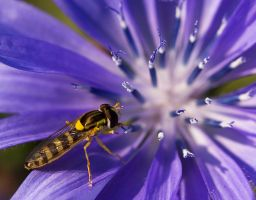 Schwebfliege Pflanze Blume Wegwarte Insekt