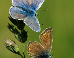 Tier Insekt Schmetterling Bläuling