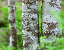 Birke Baum Wald